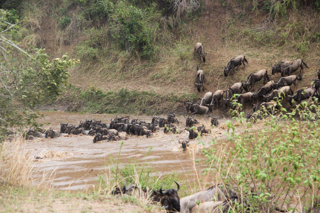 続々とヌーたちがマラ川を渡ります。