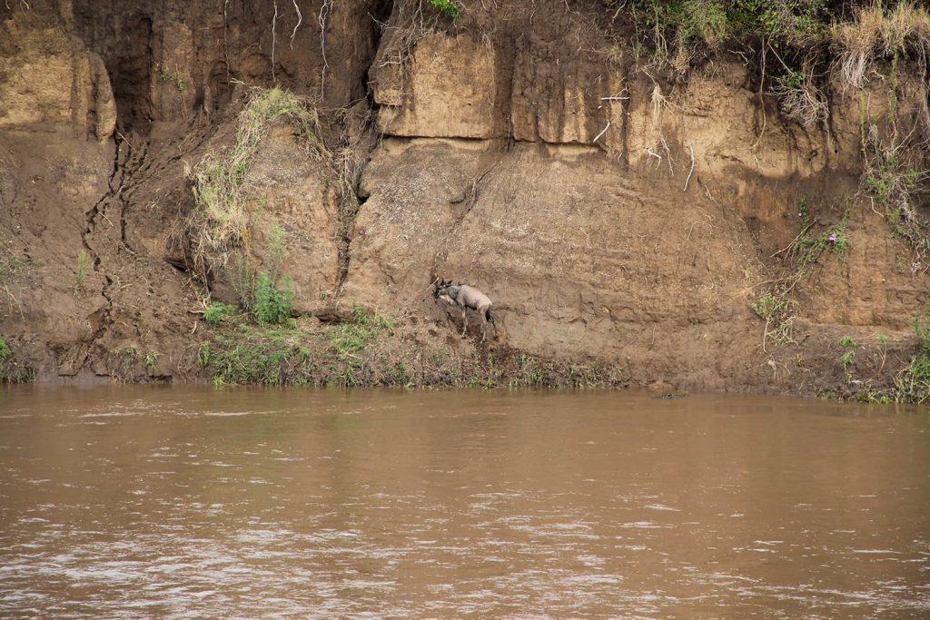 川渡り中、集団についていけず、はぐれてしまったヌーの子ども。