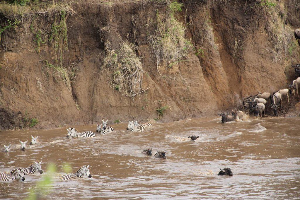 シマウマたちも川渡り。