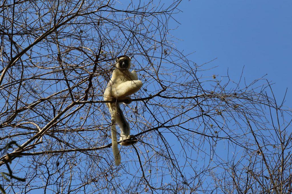 木の上で日光浴をするベローシファカ