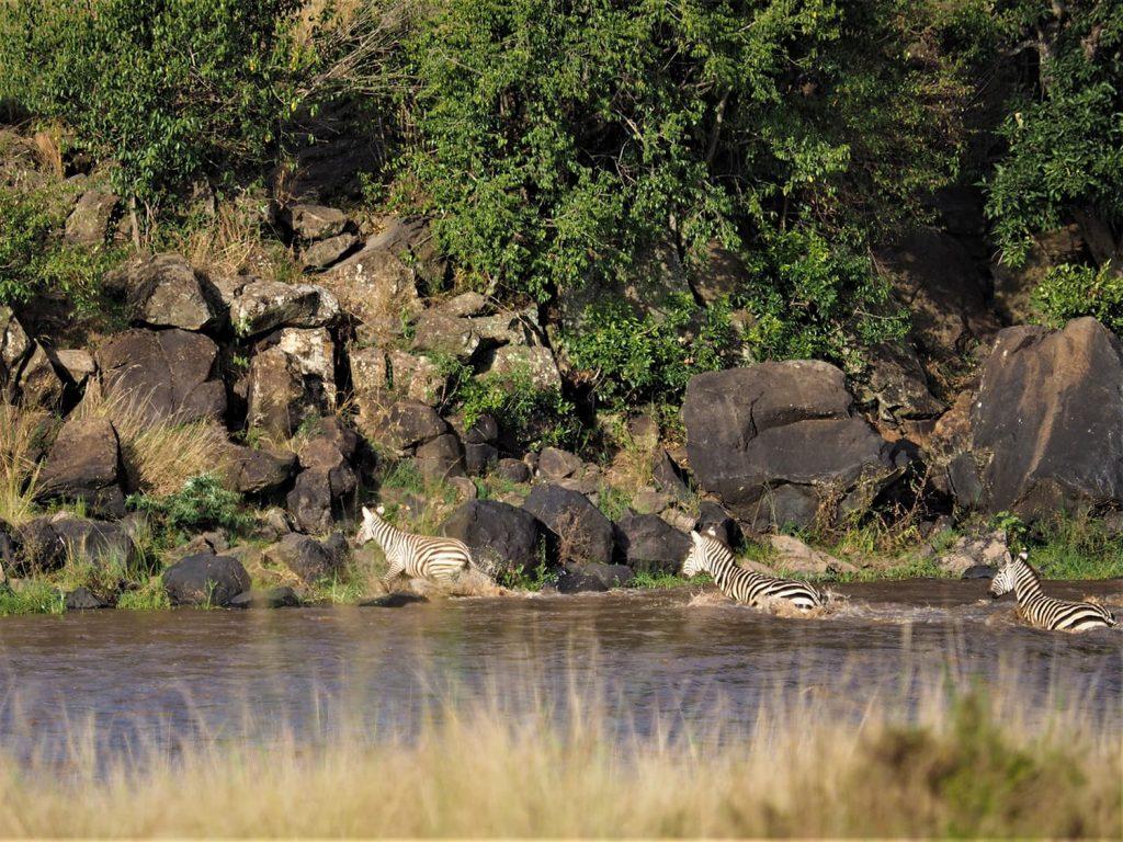 シマウマを追って河へ向かうと、数頭がマラ河を渡って向こう岸へ。