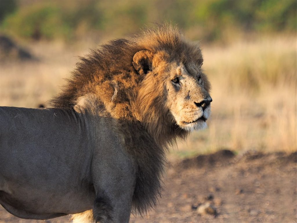 諦めて帰ろうとしたところでライオンを見かけました。食事中のヌーを狙ってやって来たのでしょうか。