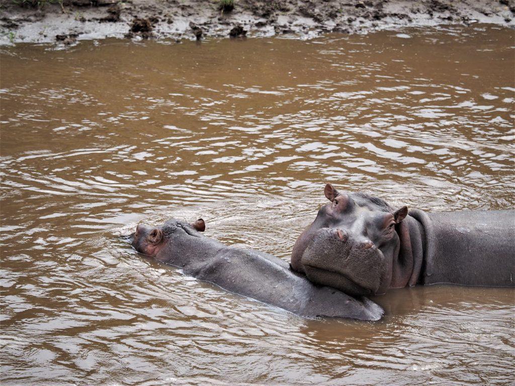 それでも水場は、やっぱり動物たちが生きる場所。いろんな動物がいます。これはカバの親子。