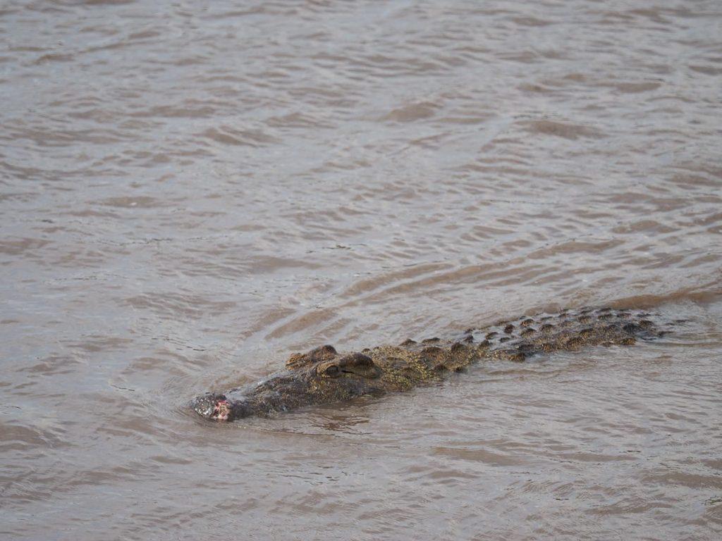 音もたてずにワニが忍び寄ってきました。河を渡るヌーやシマウマを狙っています。