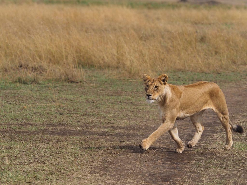 あ!ライオンも来ています。さすがに野生の勘です。群れの動きを嗅ぎつけてきました。