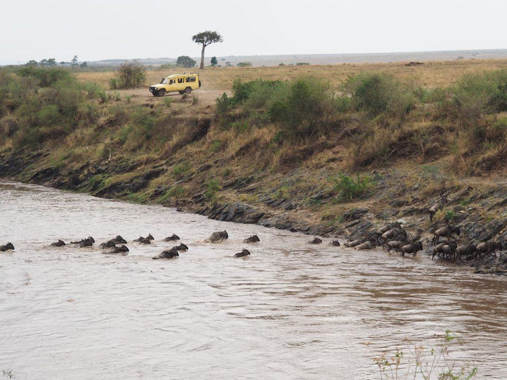 お!ようやく、ヌーが河を渡り初めました。なかなかの勢いです。