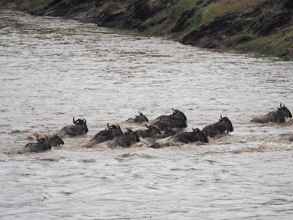 河の流れも急なので、ヌーも苦しそうです。