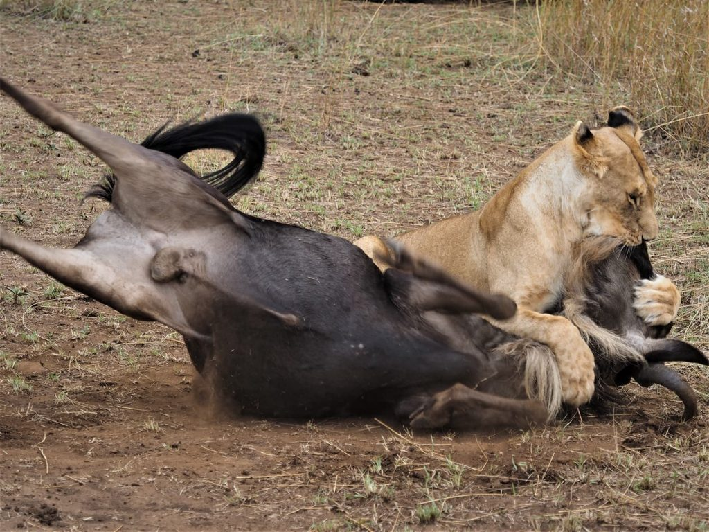 河ばかり見つめていると、背後から叫び声が聞こえました。振り返ると、渡る前のヌーにライオンが襲い掛かっています。さっきまで寝てたくせに!