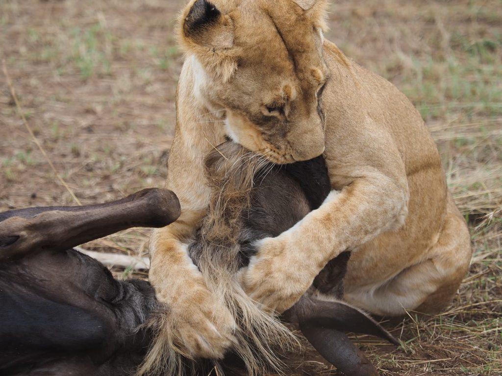 ヌーも必死で暴れますが、雌ライオンも羽交い絞め。息絶えるまで放しません。