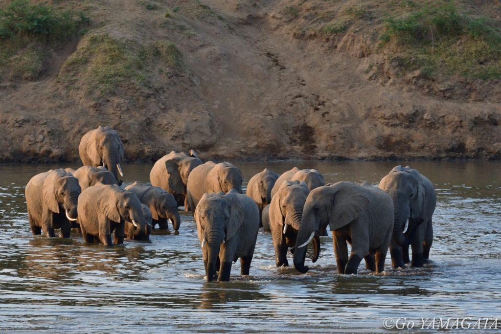 ルアングワ川を渡るゾウの群れ。対岸は我々が宿泊していたロッジの敷地だ。