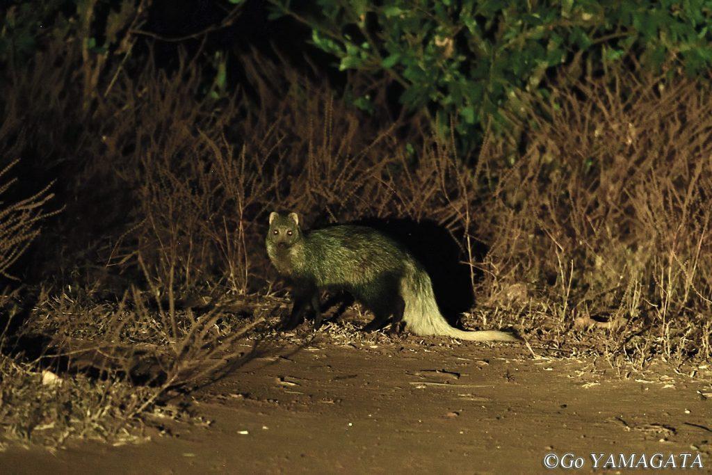 ナイトドライブで見かけたシロオマングース。完全に夜行性なので日中は絶対見ることのできない種だ。