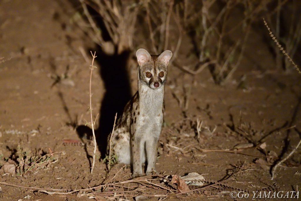 こちらも完全に夜行性のオオブチジェネット。ガイドがチューチューとネズミの鳴き真似をすると、車のそばまで寄ってきた。