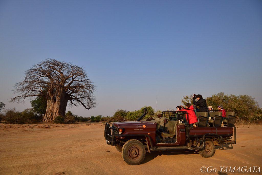 ザンベジ河の岸辺には、多くの巨大なバオバブが立っているエリアがある。