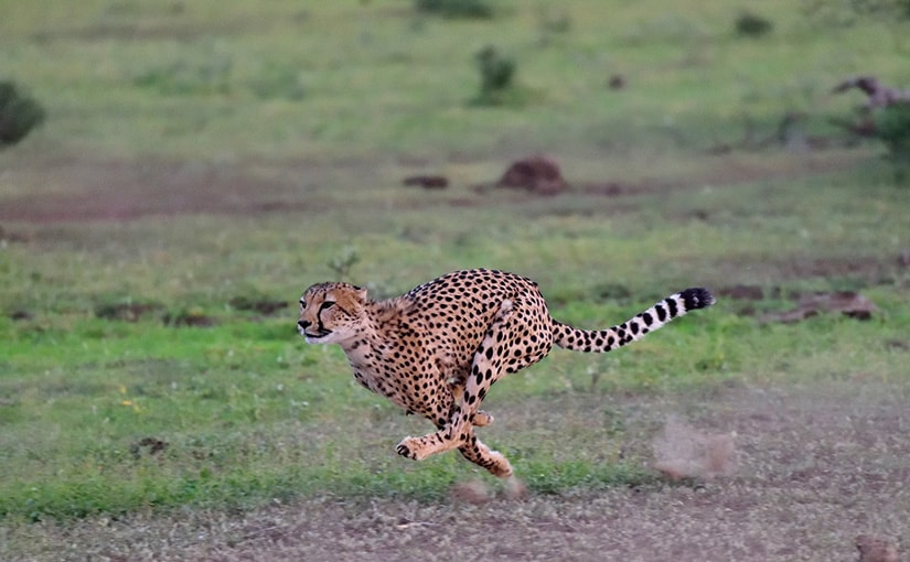 WILD AFRICA 37 チーターの狩りを撮る