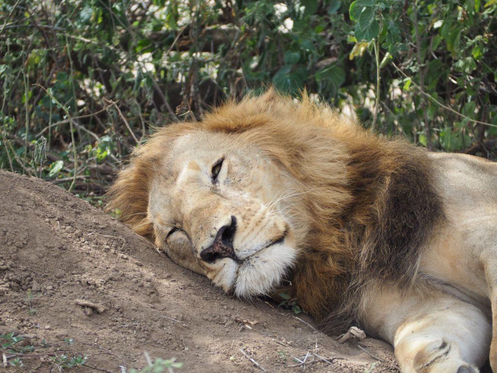 居眠りライオン。