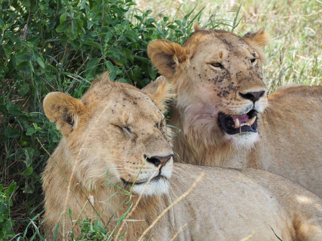 若いライオン兄弟。昨日狩りをしたようで、顔の周りにはハエが。
