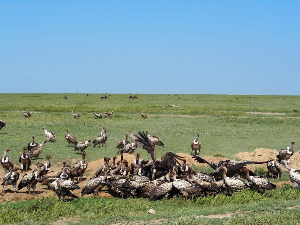 ハイエナが捕らえたヌーに群がるマダラハゲワシ。