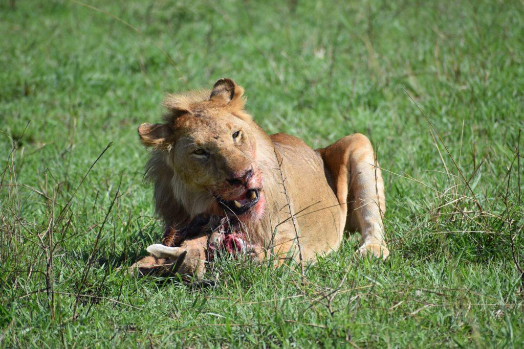 ライオンの捕食シーン