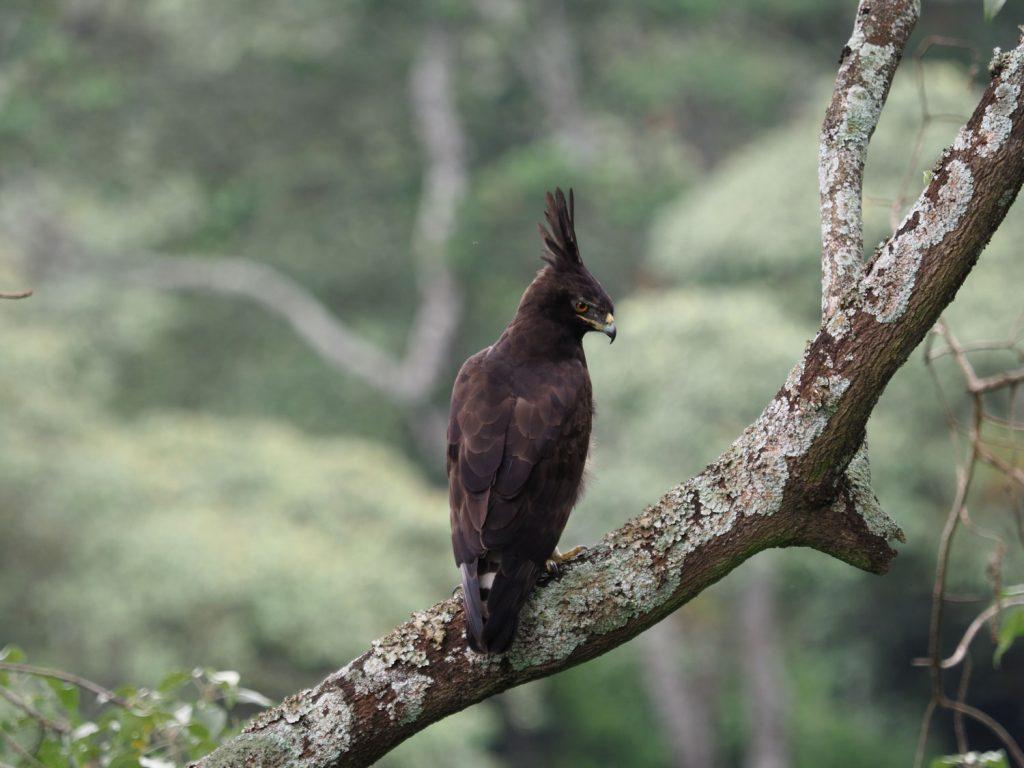 ンゴロンゴロでよく目にするエボシクマタカ
