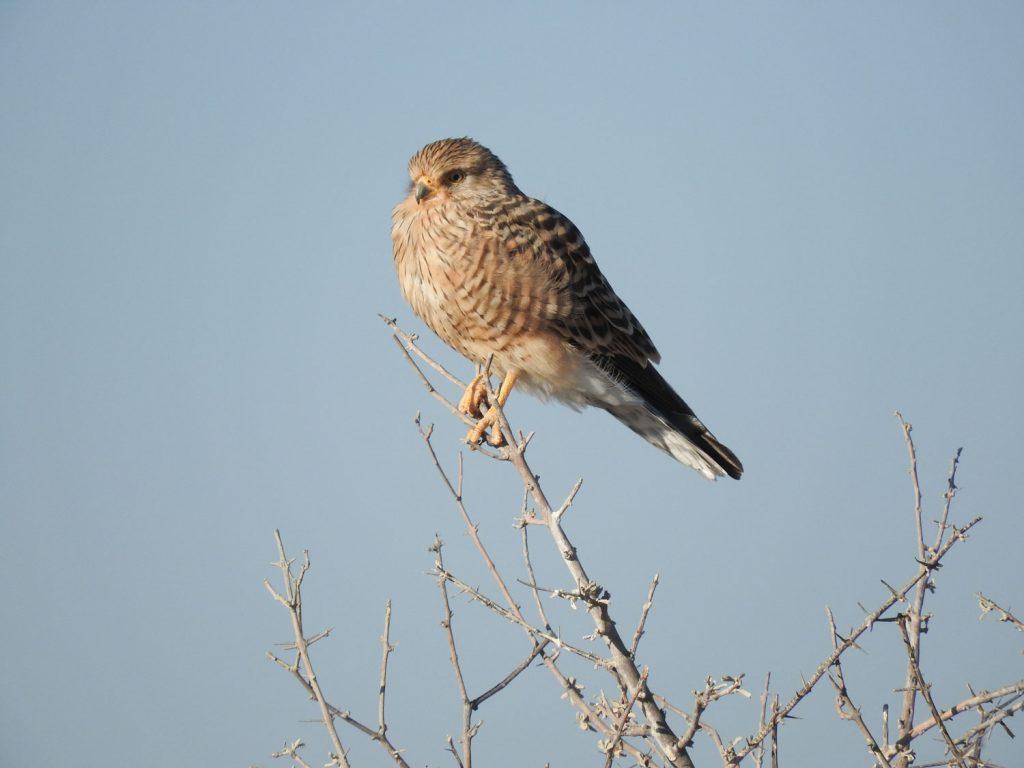 公園内ではチョウゲンボウがじっとしていました。南部アフリカの乾燥地帯がよく見られるようです。