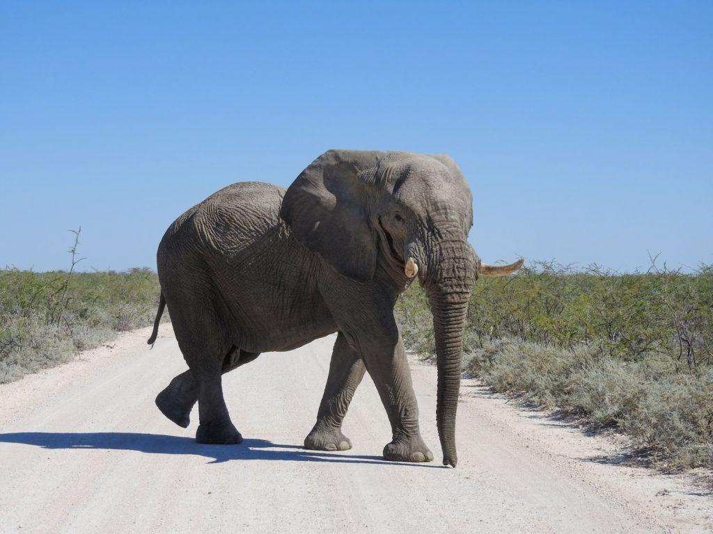 サファリの終了間際に立派なオスのゾウが道路を横切って行きました。