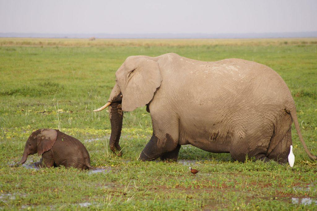 足がおぼつかない赤ちゃん象とそれを見守るお母さん。