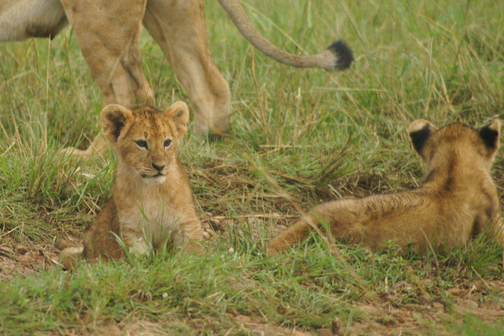 可愛らしい子ライオンに皆さんメロメロでした。