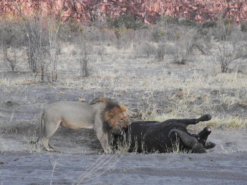 近くには放浪ライオン3頭が住んでいます。そのうちの1頭がバッファローを食べています。実は上記のプライドのオスは2頭、それに対して乗っ取ろうとしたオス3頭が負けたそうです。その後バッファローを倒したそうです。後ろ足にけがをしていました。