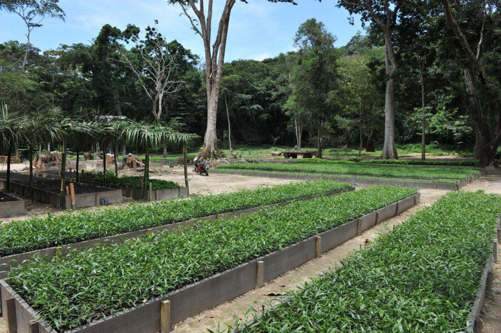 コンゴでは炭が調理には欠かせません。伐採も多いためアカシアを植林しているそうです