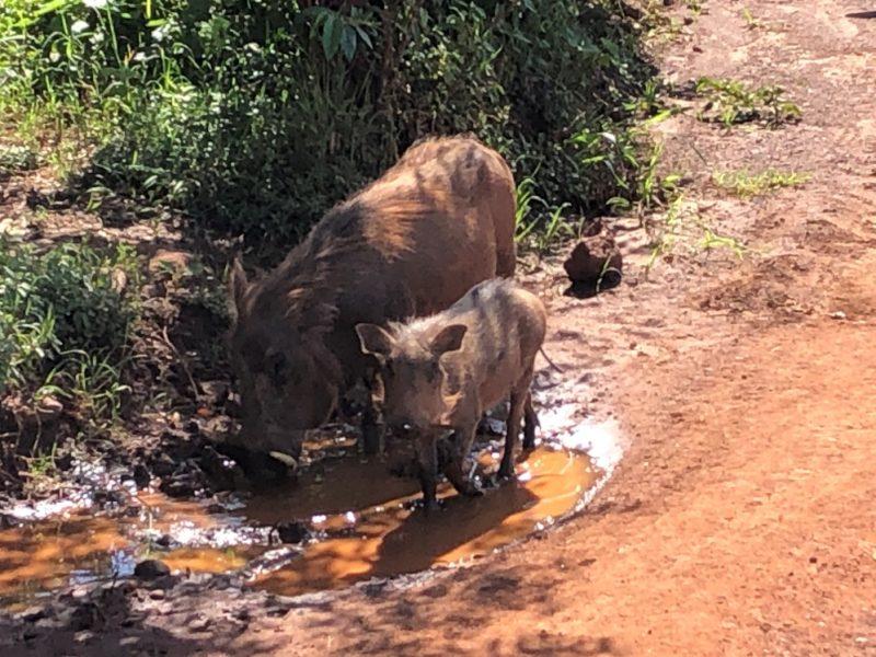 ここからマサイマラに出てサファリ開始です。少し行くだけで様々な動物を見る事ができます。 ここの動物はどの動物達も気持ち良さそうにご飯を食べているように見えます。