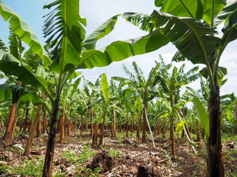 せっかくなのでバナナ農園を見学させてもらいました。