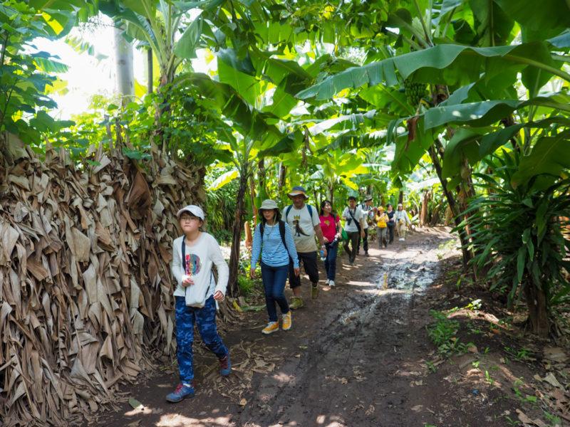 みんなでバナナ農園の中を散策。甘い果物用バナナと。甘くない野菜用バナナが栽培されています。