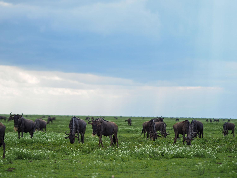 ンゴロンゴロとセレンゲティの境界線エリアは『ンドゥトゥ』と呼ばれ、背の低い草原と花が咲き乱れます。