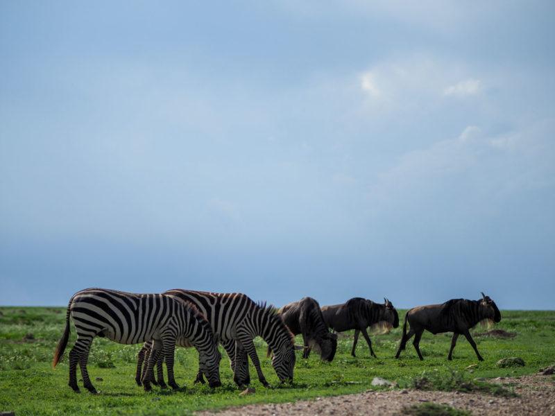 雨季の始まりにヌーやシマウマの群れがケニアからやって来ました。これから始まる『大移動』を予感させます。