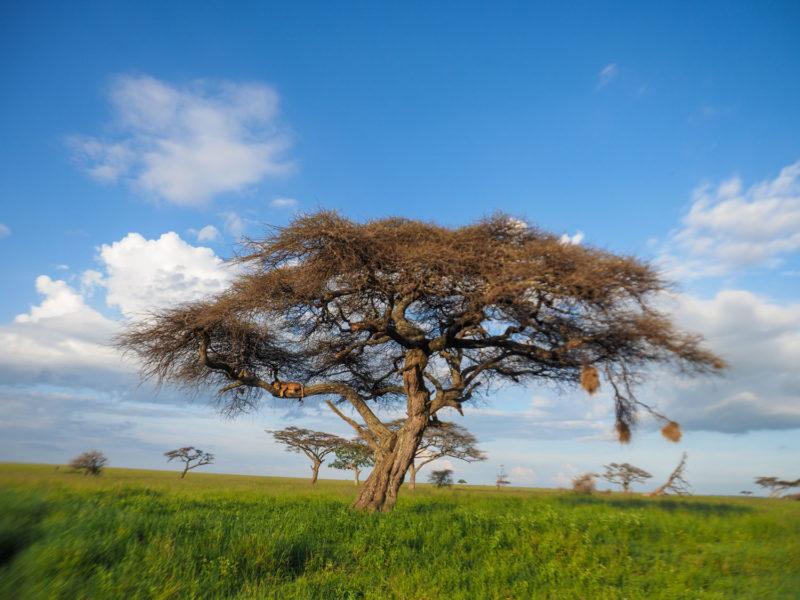 セレンゲティの中央部に着くころには、もはや夕暮れ時。大きなアカシアの樹に何かが居るのを発見。