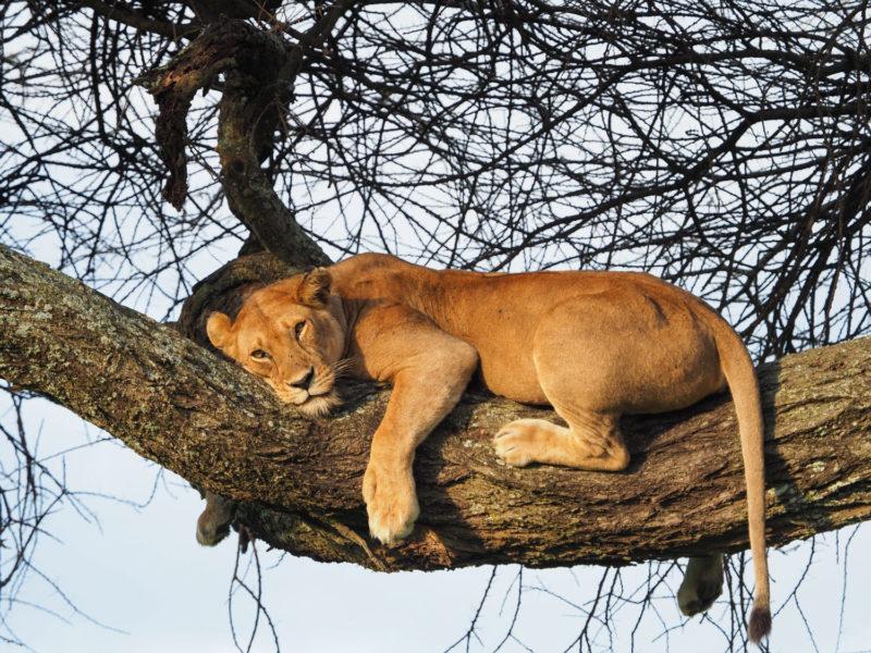 おお、こんなところに木登りライオン。さっそくマニャラ湖の借り(?)を返しました!
