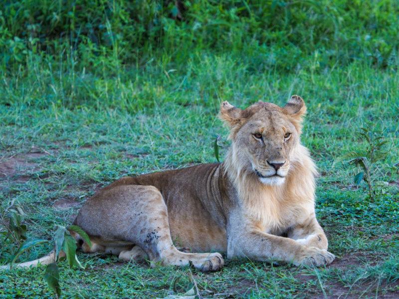 緑の中でたたずむ若い雄ライオン。年齢を見分けるには、鼻に注目です。まだ鼻先がピンク色だと、ボーイです。