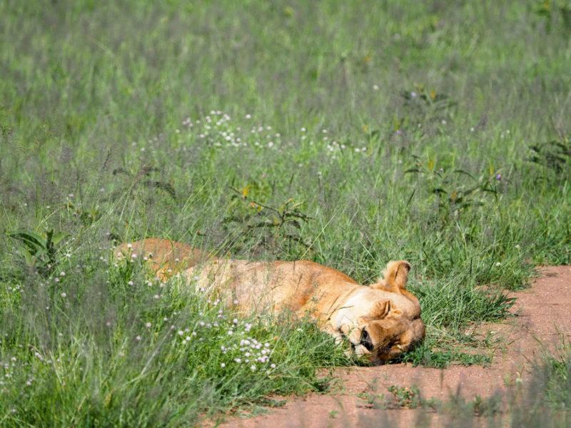 昼間はライオンンものんびりしたもんです。