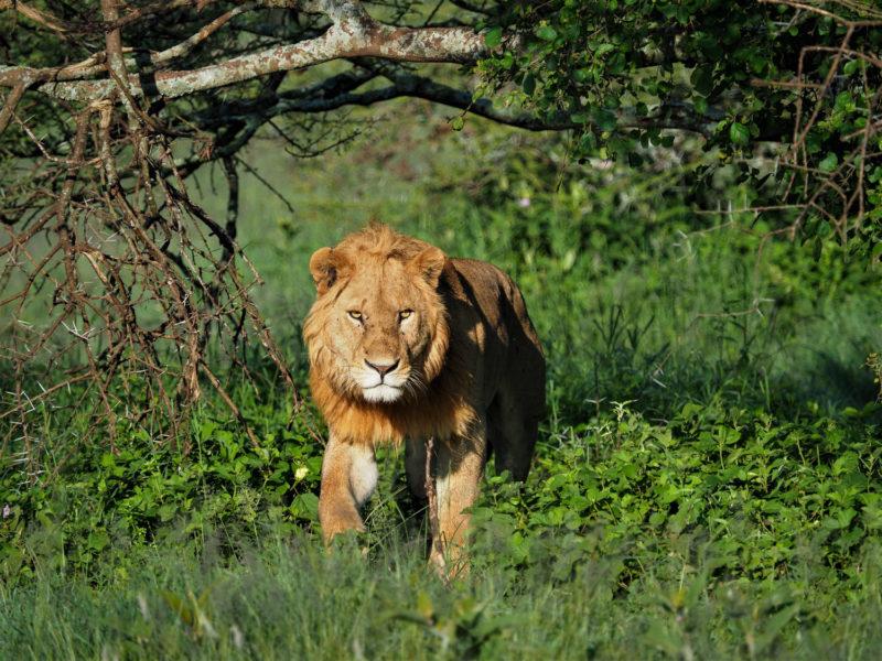 2020年最初に出会った動物は雄ライオン。金色のタテガミがセレンゲティらしい若獅子です。