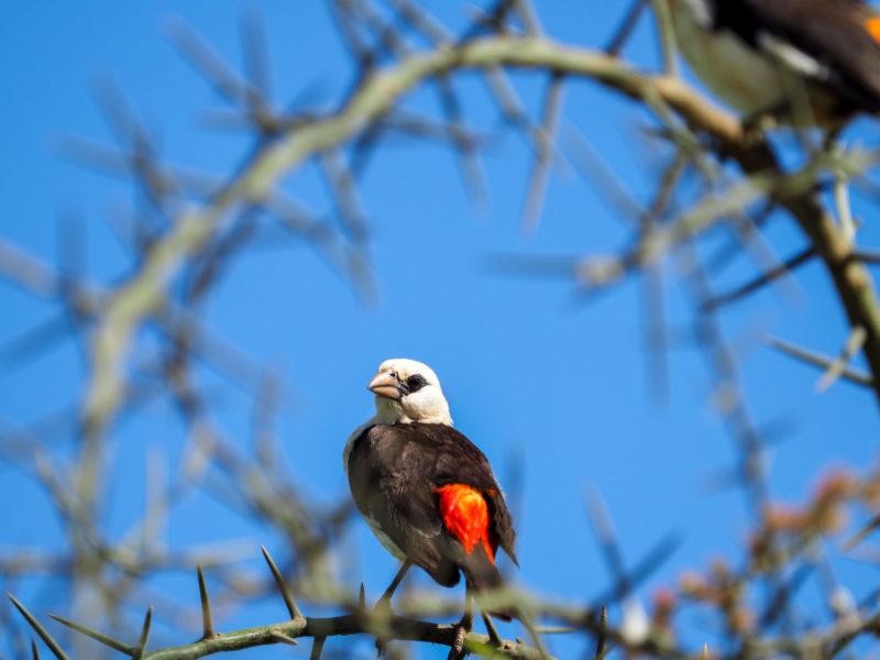 セレンゲティでは鳥類もたくさん。ウシハタオリの姿はよく見かけます。