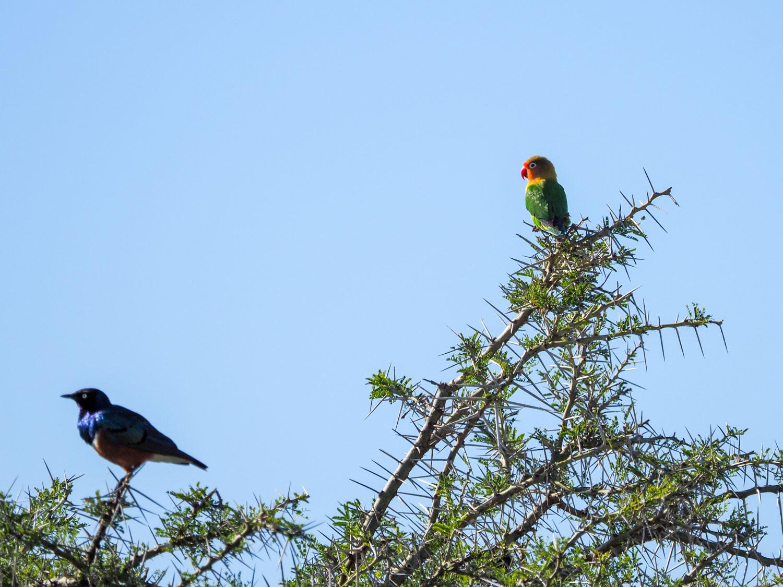 ちょっと遠かったですが、キエリボタンインコ。カラフルで可愛い鳥です。