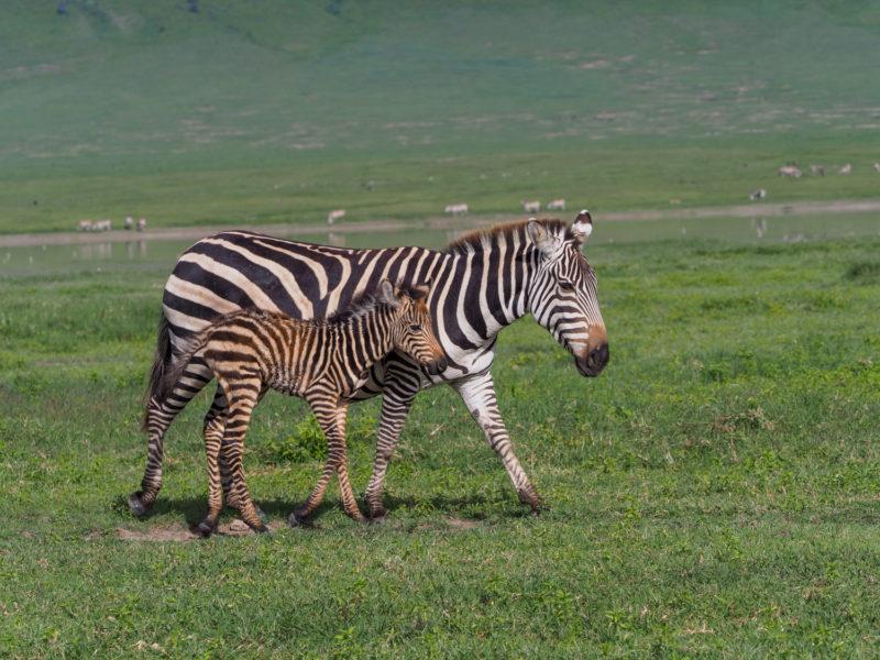 そして、ンゴロンゴロは野生動物への距離が近いのが特徴です。
