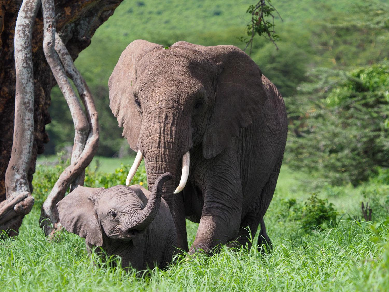 ゾウの親子。クレーター内のレライの森はゾウ達の家です。