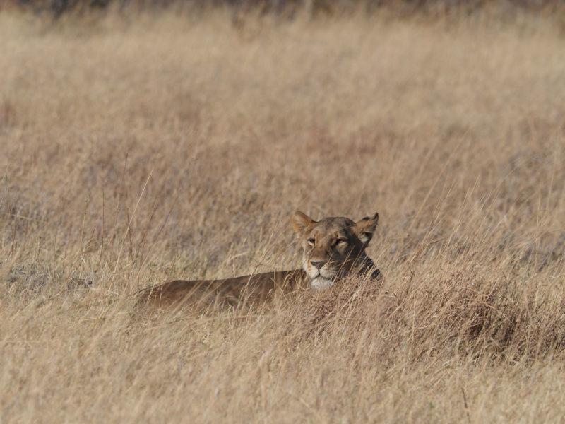 ボツワナのライオンの体毛の色は、この時期の草の中でカモフラージュするためかもしれません