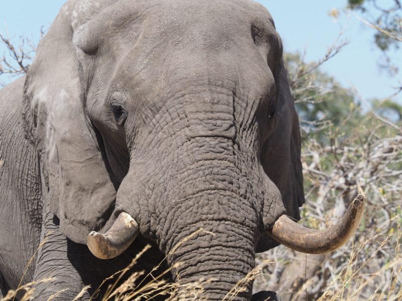 牙は短いものの立派な体躯のオスゾウ