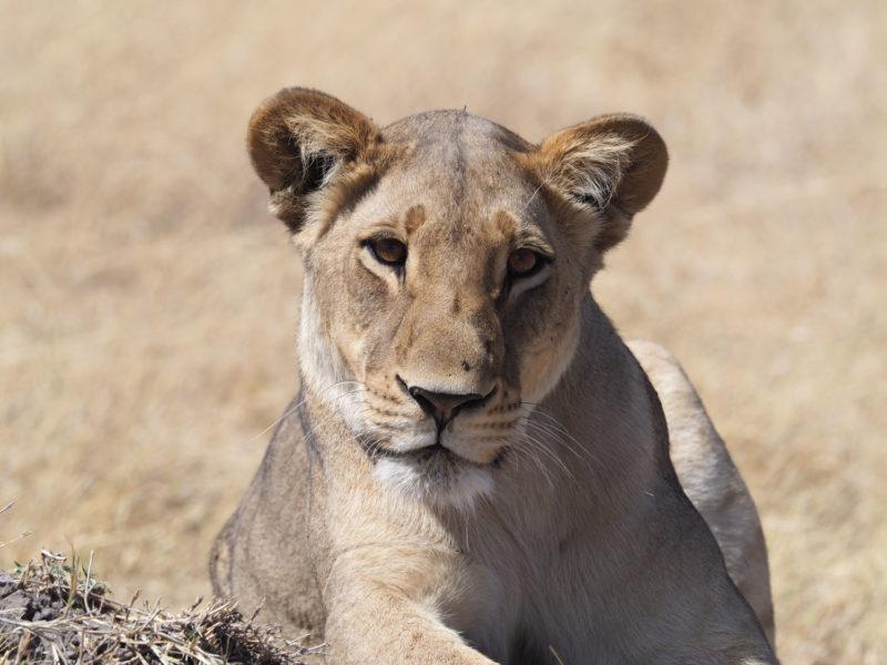 気弱そうな穏やかな表情をした若いメスライオン
