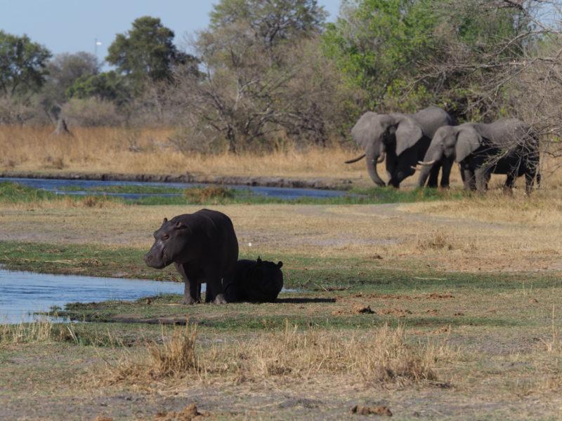 のんびり日光浴するカバと、のんびり草を食むゾウ