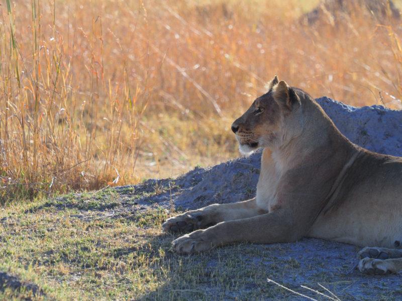 蟻塚にもたれて氾濫原を見渡すメスライオン。今晩の狩りの獲物を物色中か?
