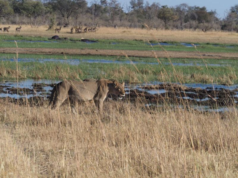 川で隔てられたモレミとクワイの間を、ライオンたちは川を飛び越え、獲物を求めて行き来します