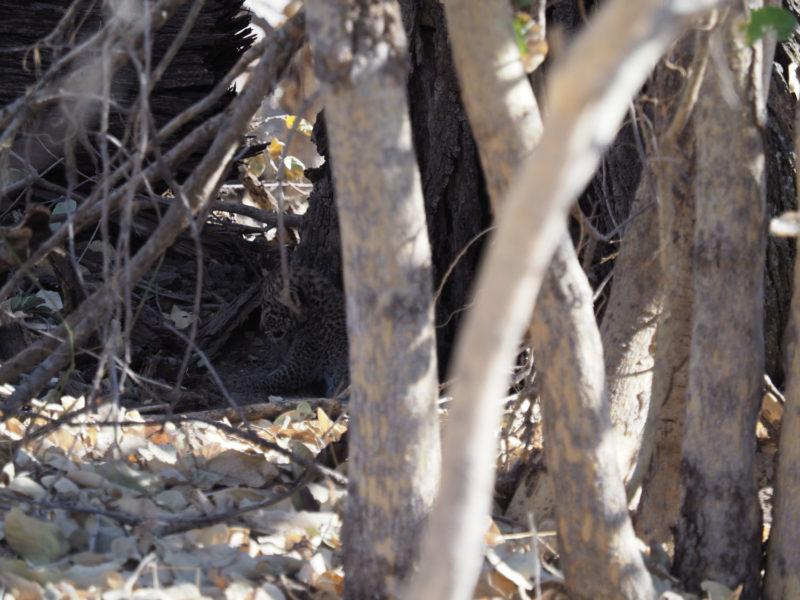 よーく見ないと目視もできないくらい小さなヒョウの赤ちゃん